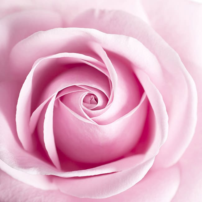 history-meaning-pink-rose-FT